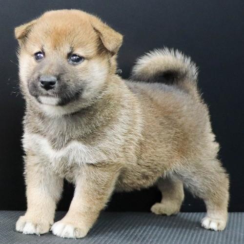 柴犬の子犬(ID:1262512227)の2枚目の写真/更新日:2021-10-01