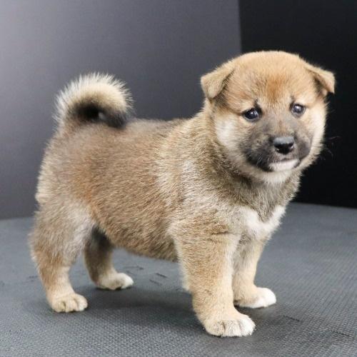 柴犬の子犬(ID:1262512227)の3枚目の写真/更新日:2021-10-01