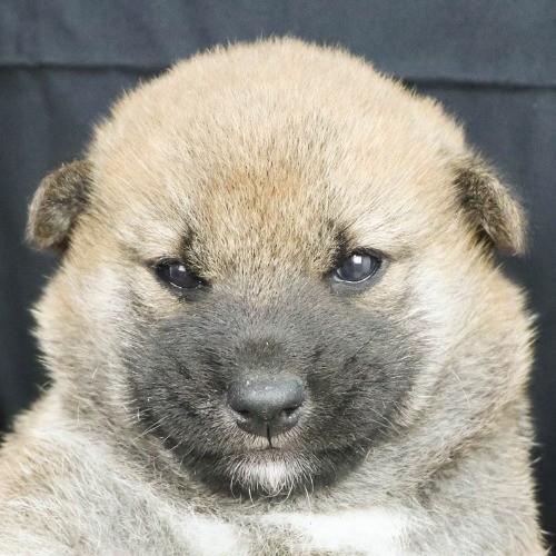 柴犬の子犬(ID:1262512228)の1枚目の写真/更新日:2021-09-23