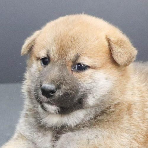柴犬の子犬(ID:1262512229)の1枚目の写真/更新日:2021-10-01