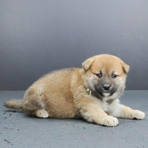 柴犬の子犬(ID:1262512229)の2枚目の写真/更新日:2021-10-01