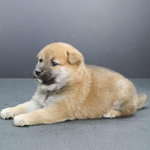 柴犬の子犬(ID:1262512229)の3枚目の写真/更新日:2021-10-01