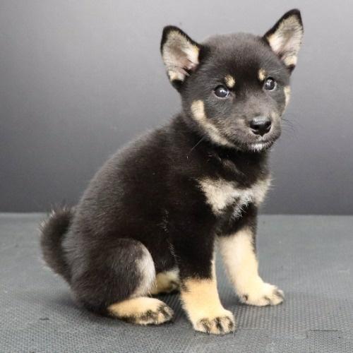 柴犬の子犬(ID:1262512230)の2枚目の写真/更新日:2021-09-21
