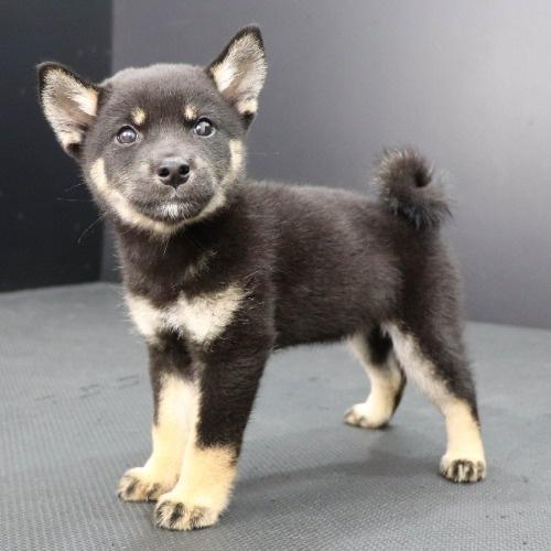 柴犬の子犬(ID:1262512230)の3枚目の写真/更新日:2021-09-21