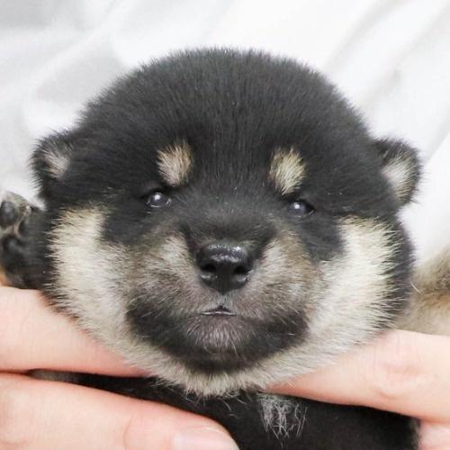 柴犬の子犬(ID:1262512233)の1枚目の写真/更新日:2021-09-30