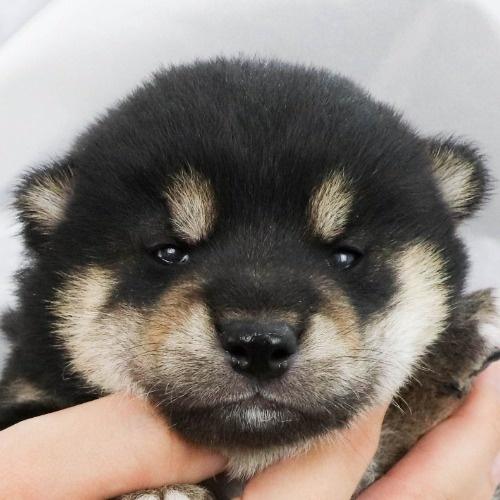 柴犬の子犬(ID:1262512234)の1枚目の写真/更新日:2021-09-30