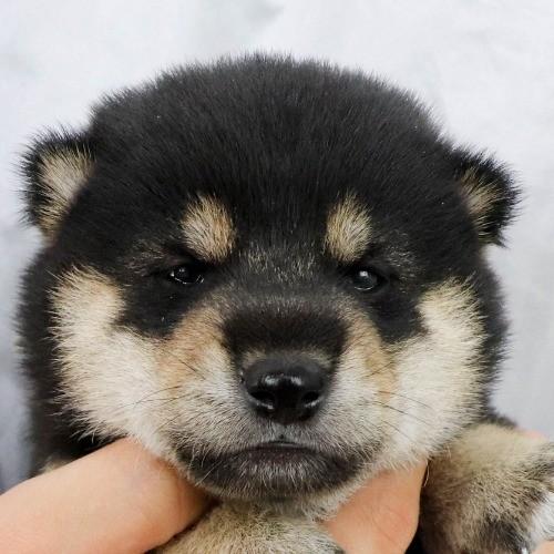 柴犬の子犬(ID:1262512235)の1枚目の写真/更新日:2021-09-30