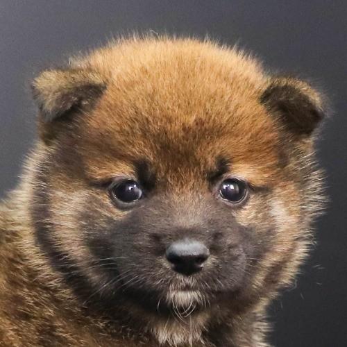 柴犬の子犬(ID:1262512236)の1枚目の写真/更新日:2021-10-16