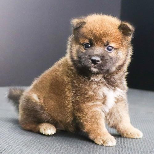 柴犬の子犬(ID:1262512236)の2枚目の写真/更新日:2021-10-16