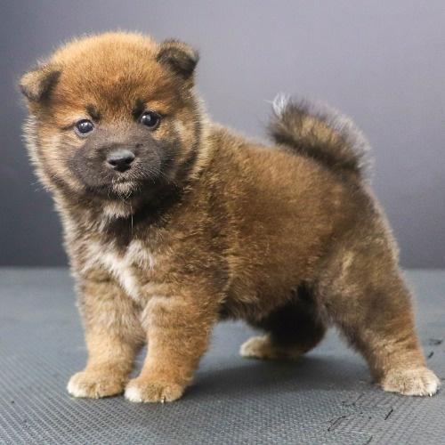 柴犬の子犬(ID:1262512236)の3枚目の写真/更新日:2021-10-16