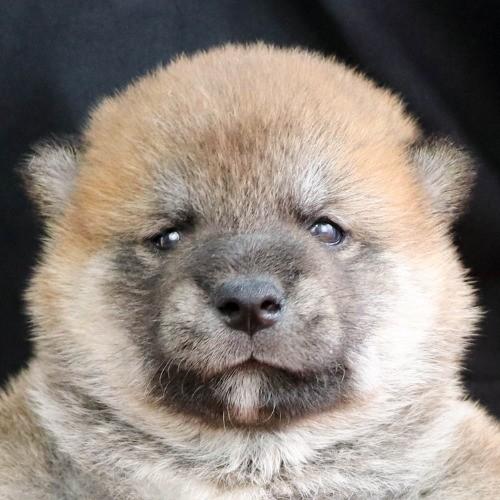 柴犬の子犬(ID:1262512237)の1枚目の写真/更新日:2021-09-30