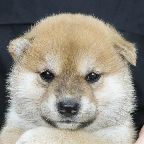 柴犬の子犬(ID:1262512238)の1枚目の写真/更新日:2021-09-30