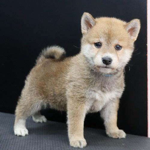 柴犬の子犬(ID:1262512239)の2枚目の写真/更新日:2021-10-08