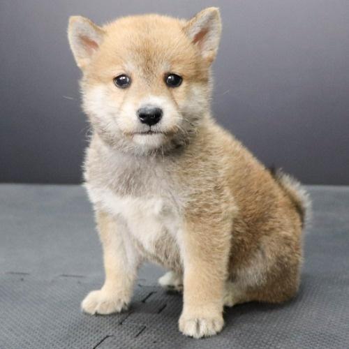 柴犬の子犬(ID:1262512239)の3枚目の写真/更新日:2021-10-08