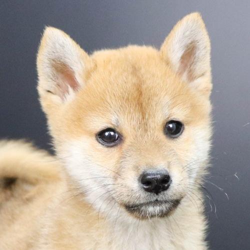 柴犬の子犬(ID:1262512240)の1枚目の写真/更新日:2021-10-18