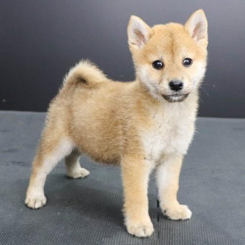 柴犬の子犬(ID:1262512240)の2枚目の写真/更新日:2021-10-18