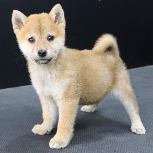 柴犬の子犬(ID:1262512240)の3枚目の写真/更新日:2021-10-18