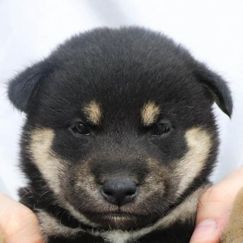柴犬の子犬(ID:1262512241)の1枚目の写真/更新日:2021-10-16