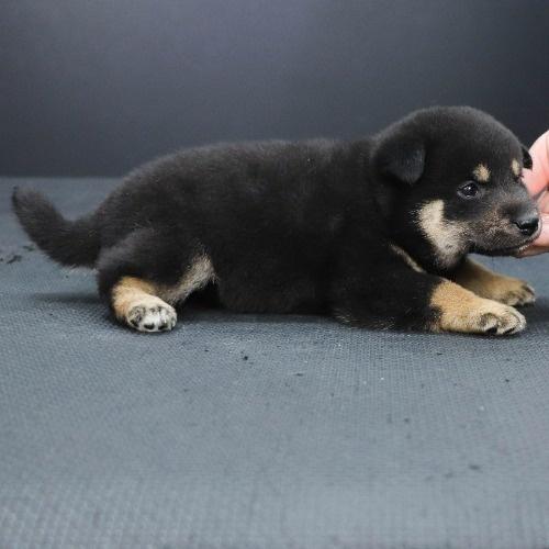 柴犬の子犬(ID:1262512241)の2枚目の写真/更新日:2021-10-16