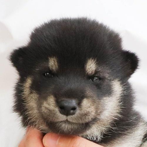 柴犬の子犬(ID:1262512242)の1枚目の写真/更新日:2021-10-08
