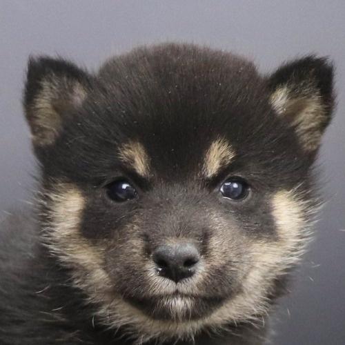 柴犬の子犬(ID:1262512243)の1枚目の写真/更新日:2021-10-22
