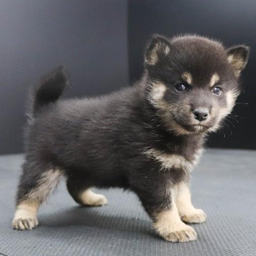 柴犬の子犬(ID:1262512243)の2枚目の写真/更新日:2021-10-22