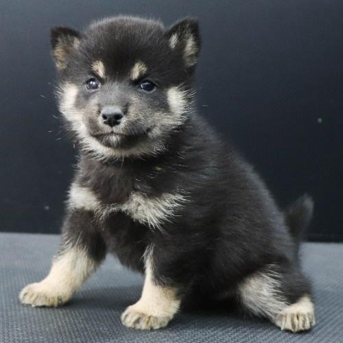 柴犬の子犬(ID:1262512243)の3枚目の写真/更新日:2021-10-22