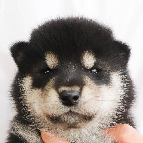 柴犬の子犬(ID:1262512244)の1枚目の写真/更新日:2021-10-08