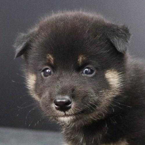 柴犬の子犬(ID:1262512245)の1枚目の写真/更新日:2021-10-18