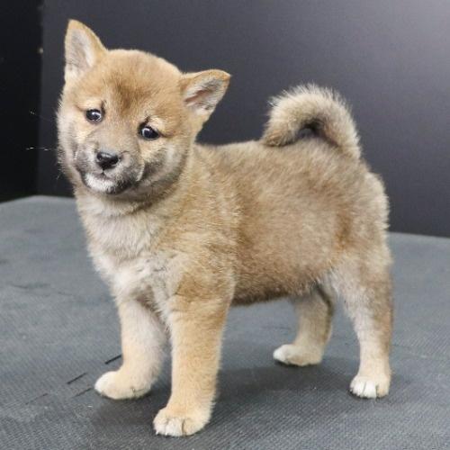 柴犬の子犬(ID:1262512246)の2枚目の写真/更新日:2021-10-08
