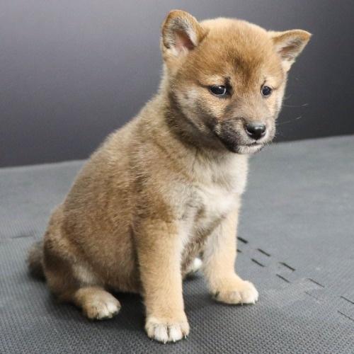 柴犬の子犬(ID:1262512246)の3枚目の写真/更新日:2021-10-08