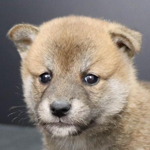 柴犬の子犬(ID:1262512248)の1枚目の写真/更新日:2021-10-18