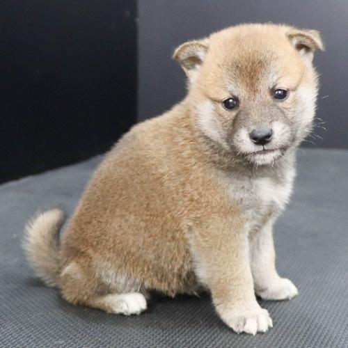 柴犬の子犬(ID:1262512248)の2枚目の写真/更新日:2021-10-18