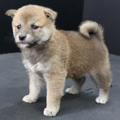 柴犬の子犬(ID:1262512248)の3枚目の写真/更新日:2021-10-18