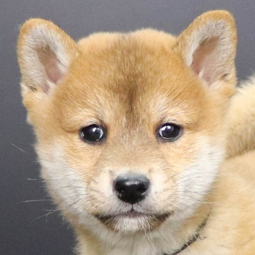 柴犬の子犬(ID:1262512249)の1枚目の写真/更新日:2021-10-08