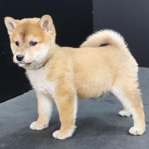 柴犬の子犬(ID:1262512249)の2枚目の写真/更新日:2021-10-08
