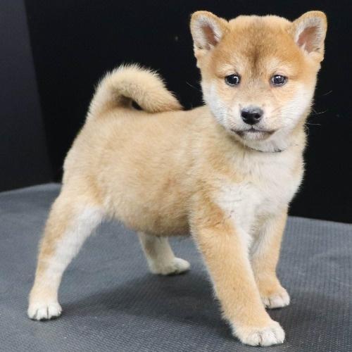 柴犬の子犬(ID:1262512249)の3枚目の写真/更新日:2021-10-08