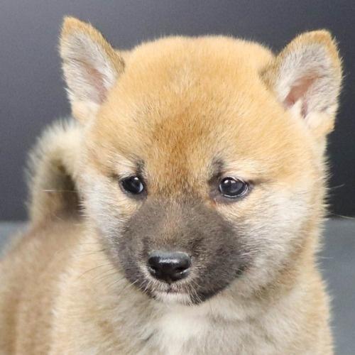 柴犬の子犬(ID:1262512250)の1枚目の写真/更新日:2021-10-16