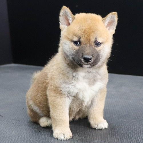 柴犬の子犬(ID:1262512250)の2枚目の写真/更新日:2021-10-16
