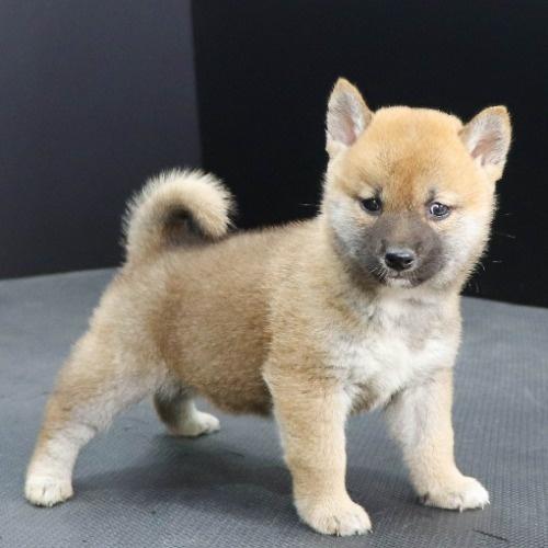 柴犬の子犬(ID:1262512250)の3枚目の写真/更新日:2021-10-16