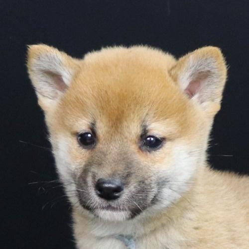 柴犬の子犬(ID:1262512251)の1枚目の写真/更新日:2021-10-16