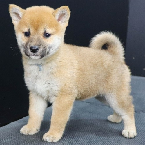 柴犬の子犬(ID:1262512251)の2枚目の写真/更新日:2021-10-16