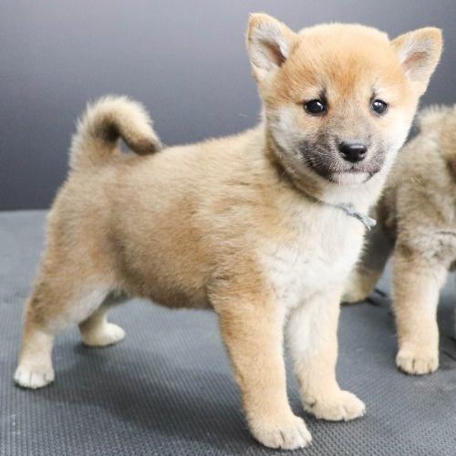 柴犬の子犬(ID:1262512251)の3枚目の写真/更新日:2021-10-16