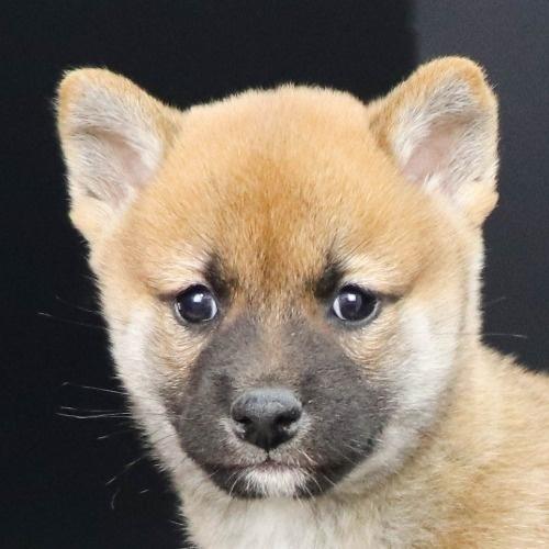 柴犬の子犬(ID:1262512252)の1枚目の写真/更新日:2021-10-16