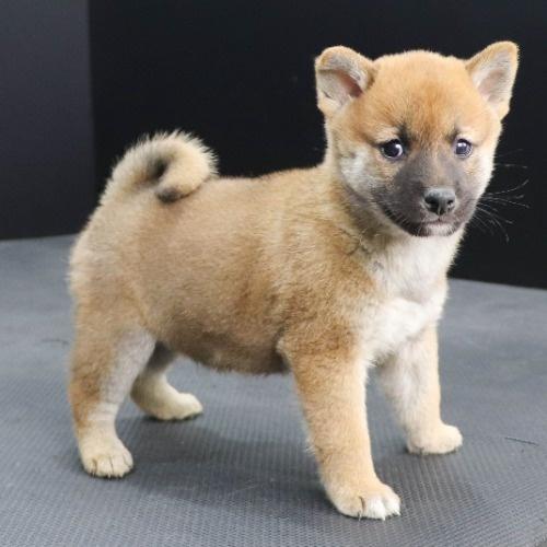 柴犬の子犬(ID:1262512252)の2枚目の写真/更新日:2021-10-16
