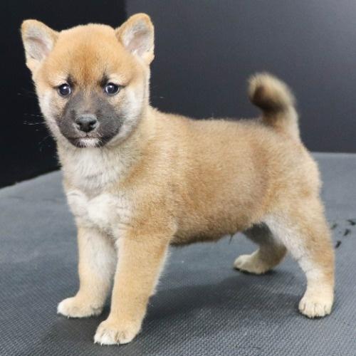 柴犬の子犬(ID:1262512252)の3枚目の写真/更新日:2021-10-16
