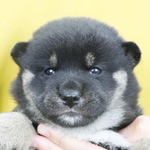 柴犬の子犬(ID:1262512254)の1枚目の写真/更新日:2021-10-18