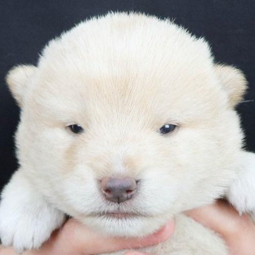 柴犬の子犬(ID:1262512255)の1枚目の写真/更新日:2021-10-24