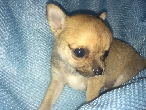 チワワ(スムース)の子犬(ID:1262611001)の1枚目の写真/更新日:2016-05-18