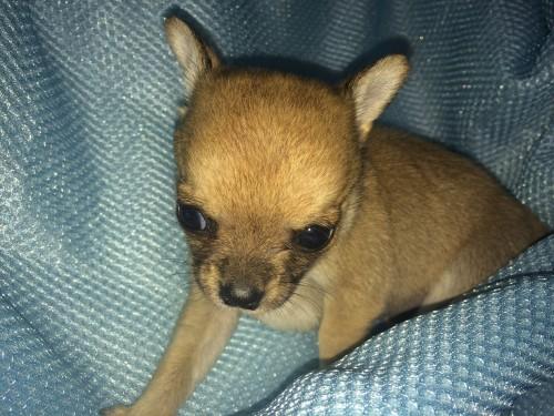 チワワ(スムース)の子犬(ID:1262611001)の2枚目の写真/更新日:2016-05-18